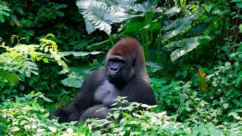 Ruanda. Gorilas