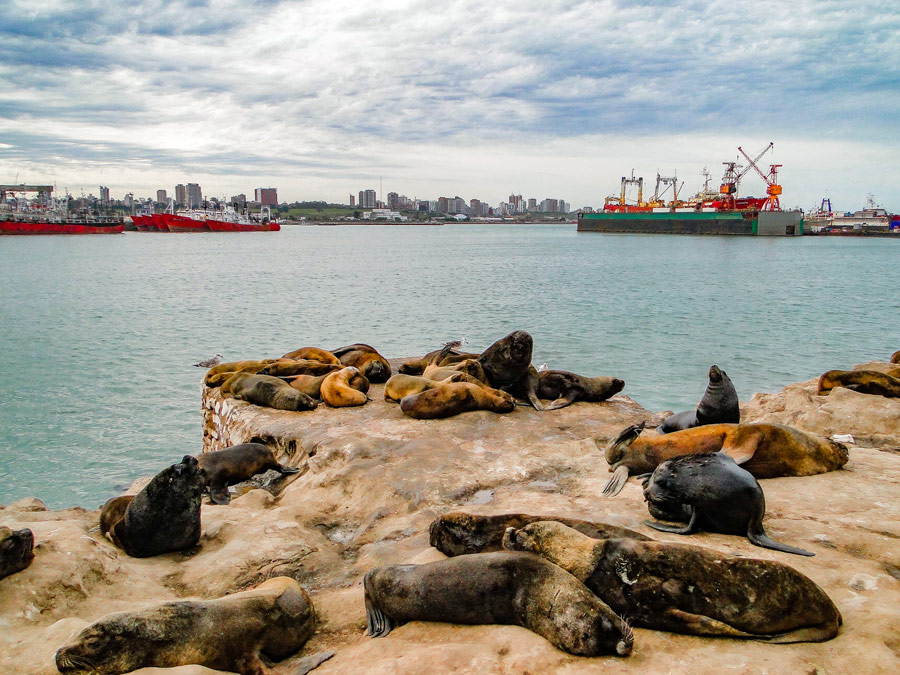 Lobos marinos en el puerto de Mar del Plata, Argentina