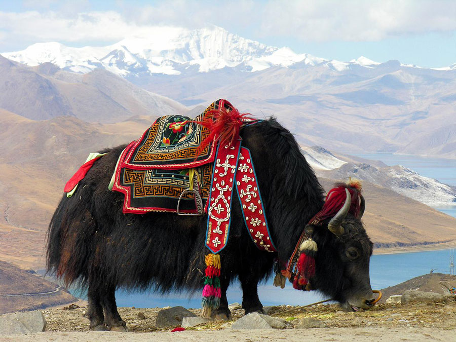 Yaks en Sikkin, India