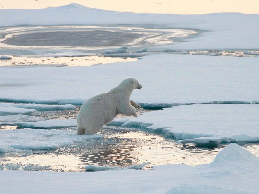 Oso polar. Smeerenburg, Svalbard