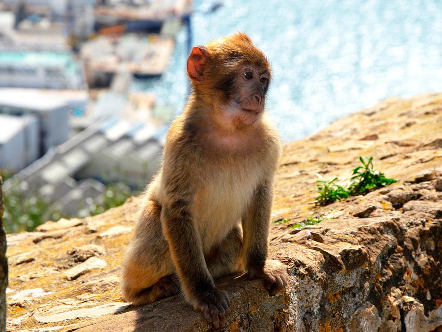 Monos en el peñon de Gibraltar