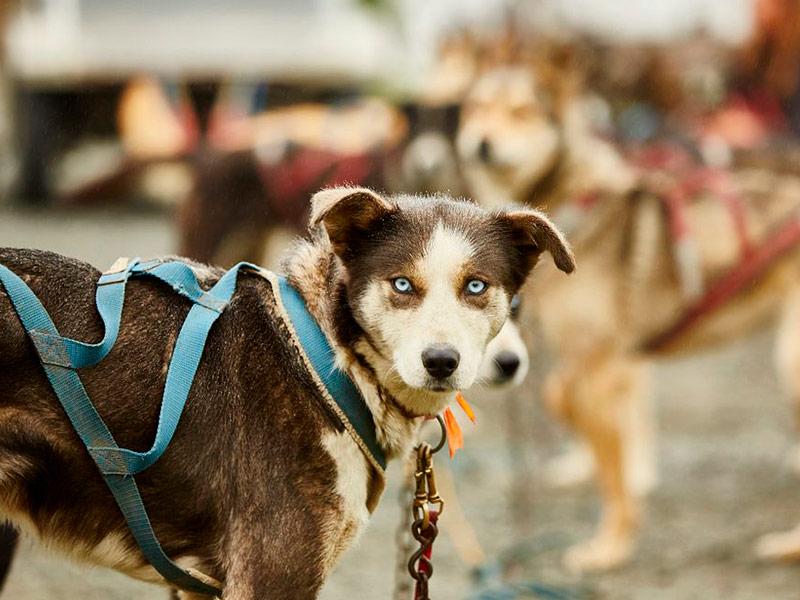 Granja de perros de trineos.